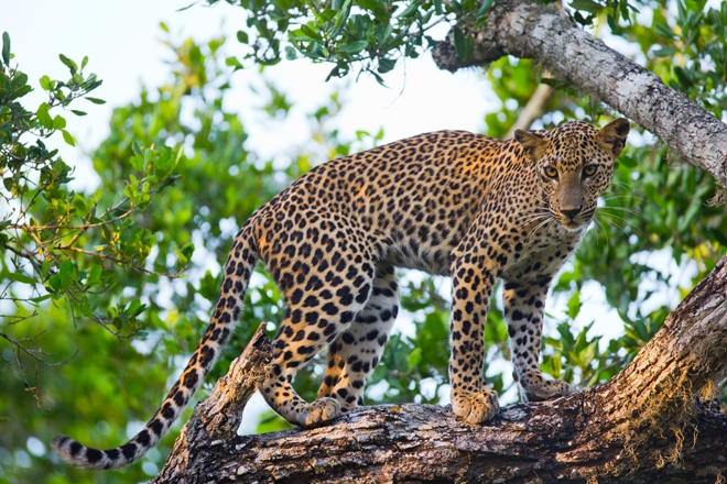 1ce1ca92e Leopard in Yala National Park