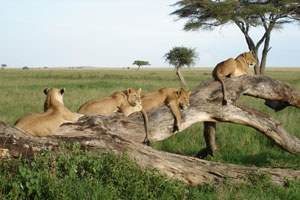 Save £400 on our Serengeti Walking Safari