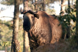 A takin - Bhutan's national animal