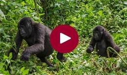 Gorilla & Wildlife Walking Safari, Uganda