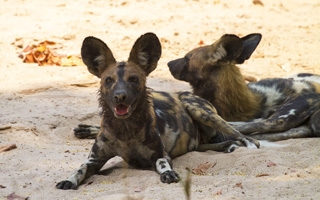Walking with Dynasties' Painted Wolves